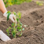 Woman hands in gloves Planting tomato sprouts in the ground