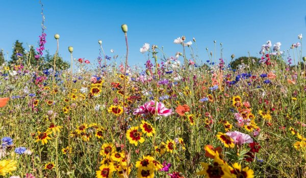 blooming wildflowers in vibrant colors, Holl, Denmark, August 13, 2020