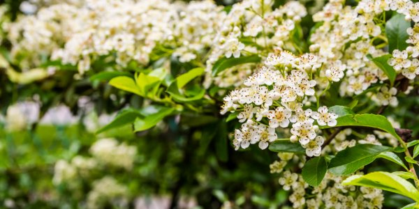 Flowers blooming hedge - Pyracantha coccinea (scarlet firethorn)..